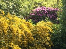 Ferienhaus Sokollek - Ginster und Rhododendron